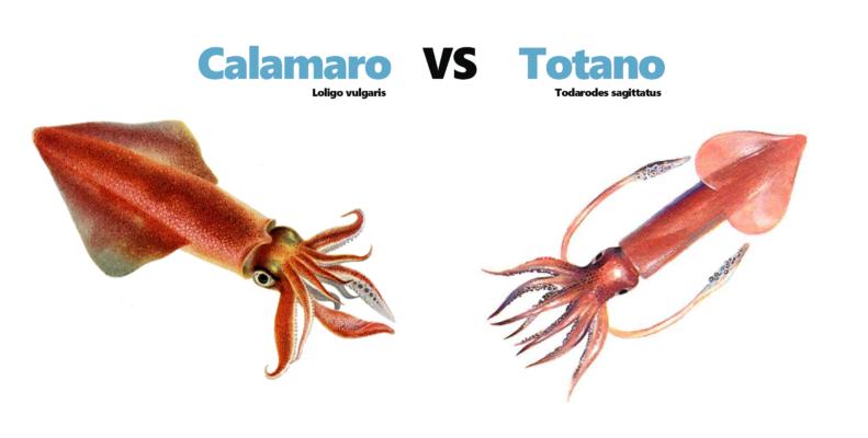 calamaro-totano-differnza-tra-calamari-e-totani